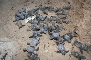 turtles-300x199